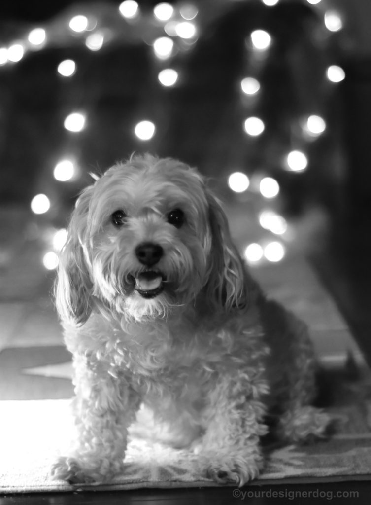 dogs, designer dogs, Yorkipoo, yorkie poo, black and white photography, bokeh, twinkle lights