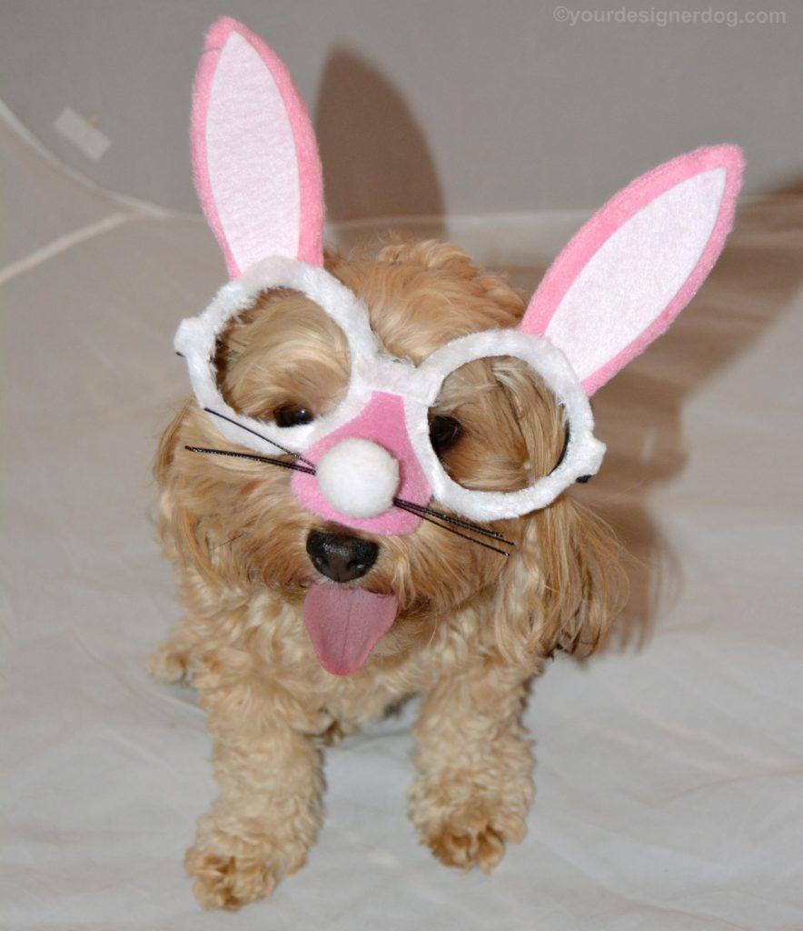 dogs, designer dogs, Yorkipoo, yorkie poo, easter bunny, bunny costume
