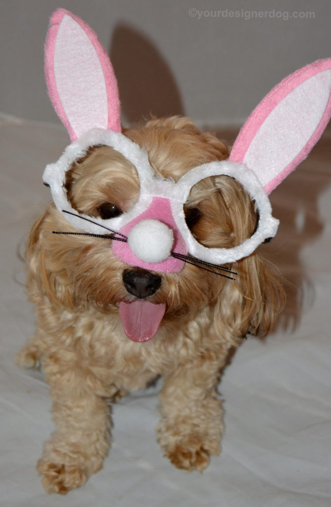 dogs, designer dogs, Yorkipoo, yorkie poo, easter bunny, bunny costume