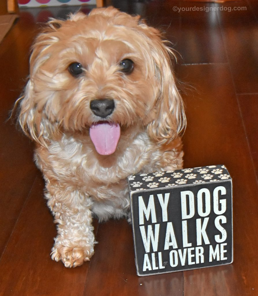 dogs, designer dogs, Yorkipoo, yorkie poo, tongue out, national pet day