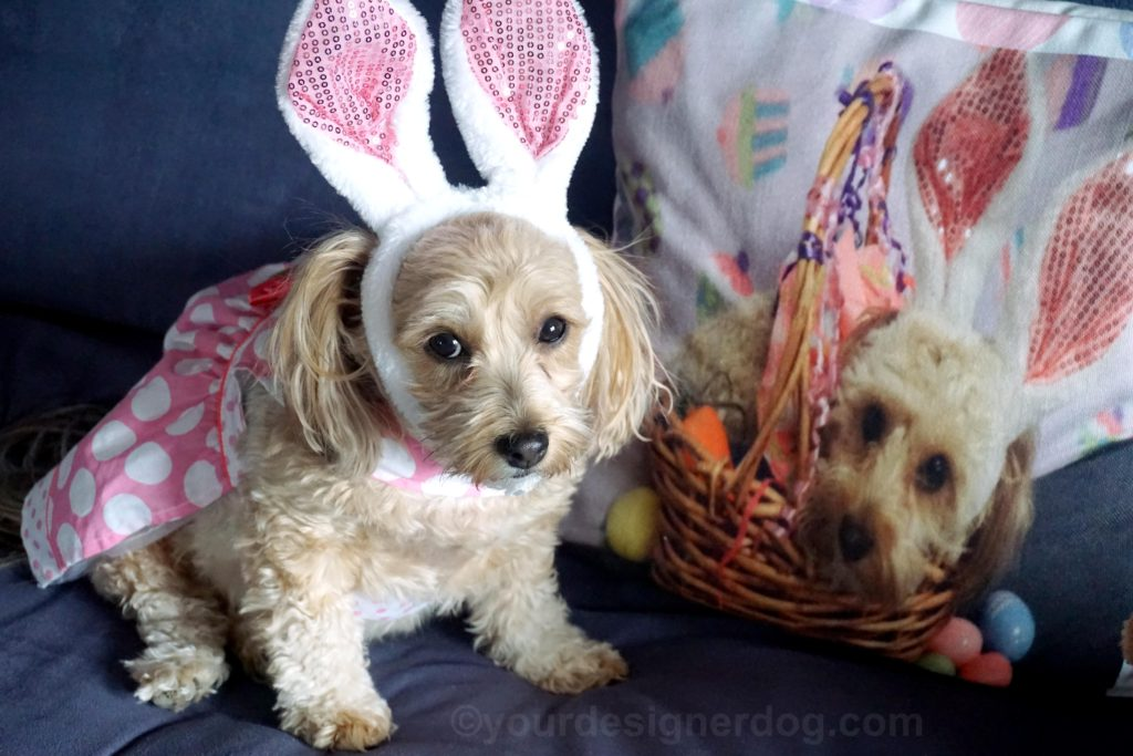 dogs, designer dogs, Yorkipoo, yorkie poo, twins, Easter, bunny ears, look alike, doppelganger