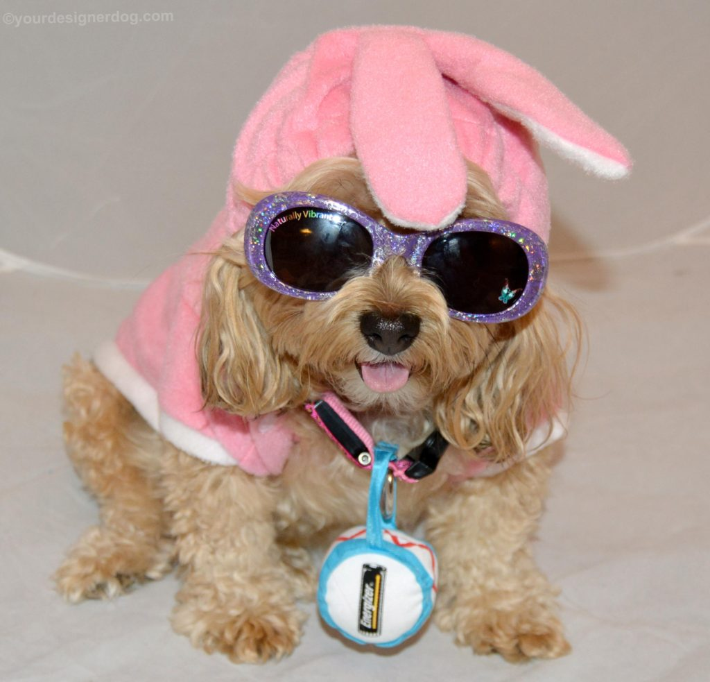 dogs, designer dogs, Yorkipoo, yorkie poo, energizer bunny, bunny costume
