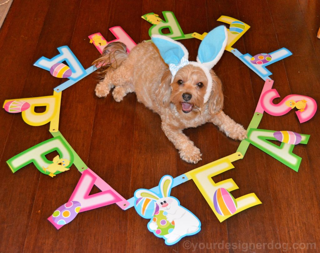 dogs, designer dogs, Yorkipoo, yorkie poo, easter, bunny, bunny ears