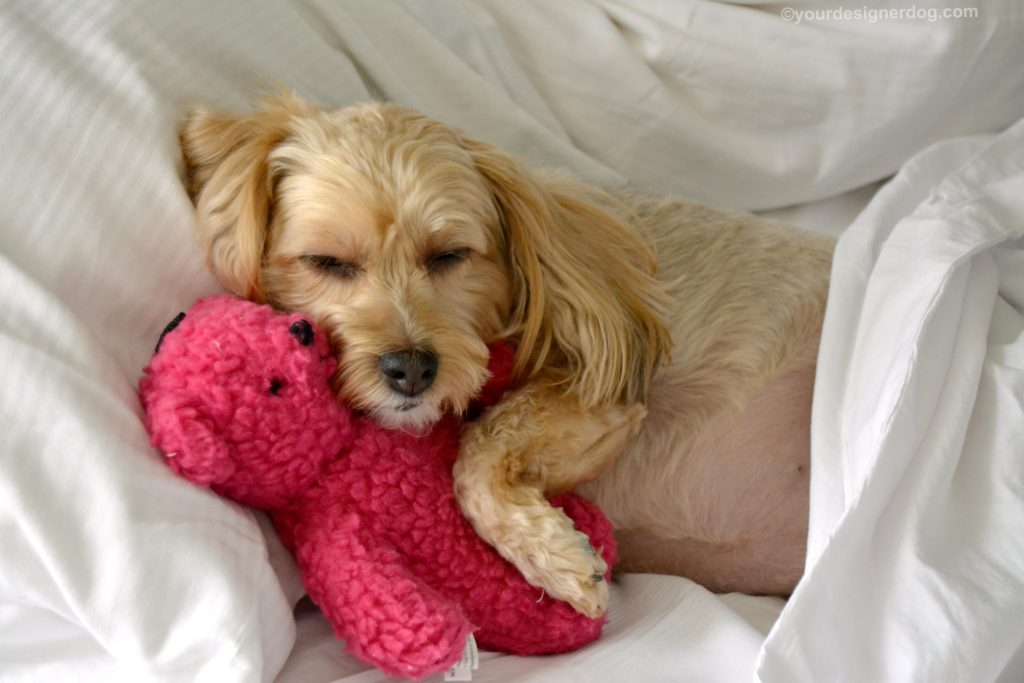 dogs, designer dogs, Yorkipoo, yorkie poo, sleepy puppy, selfie, dogs in bed, teddy bear