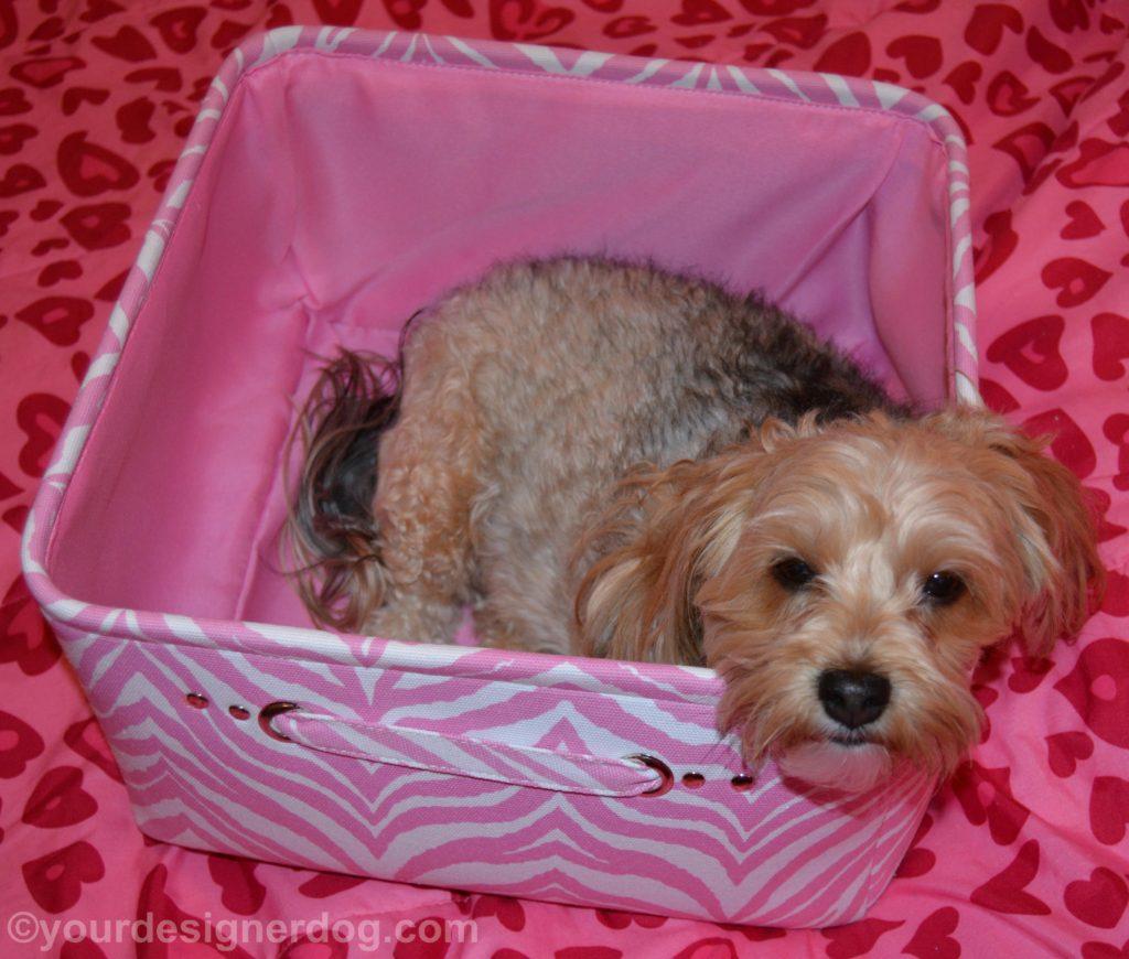 dogs, designer dogs, Yorkipoo, yorkie poo, storage box