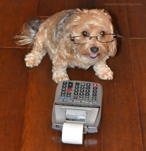 dogs, designer dogs, Yorkipoo, yorkie poo, taxes, dog wearing glasses, tongue out, adding machine