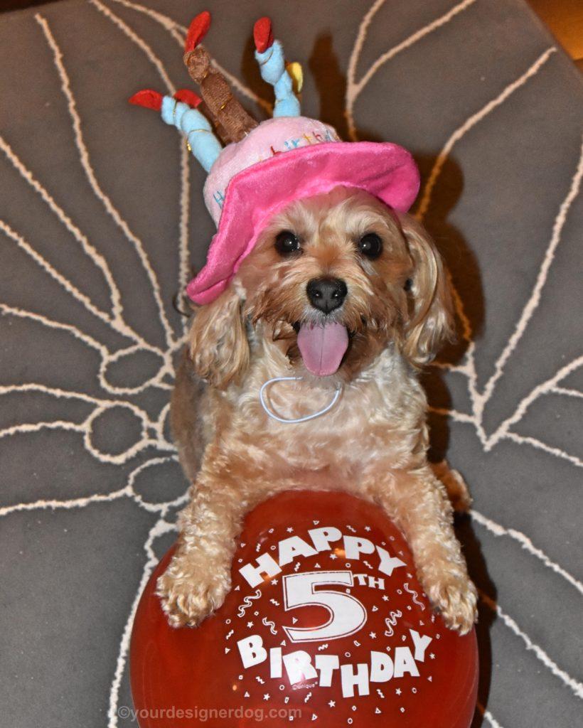 dogs, designer dogs, yorkipoo, yorkie poo, birthday, barkday