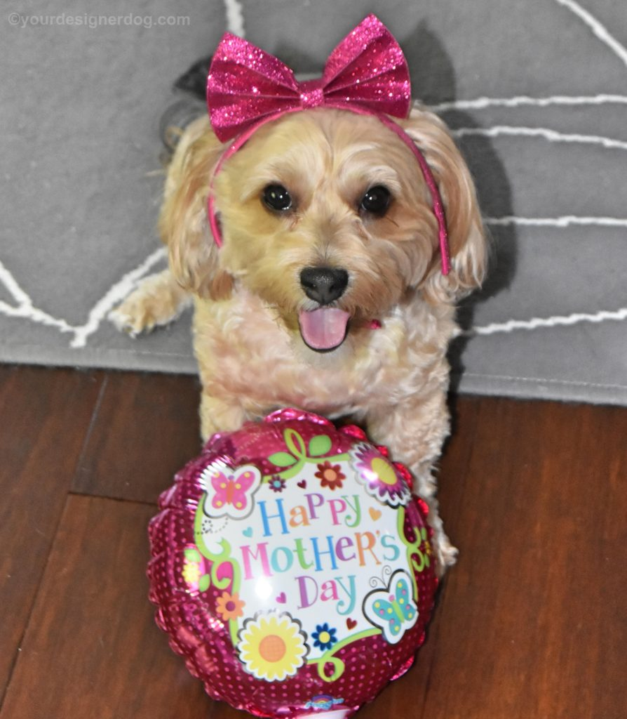 dogs, designer dogs, yorkipoo, yorkie poo, mother's day, balloon