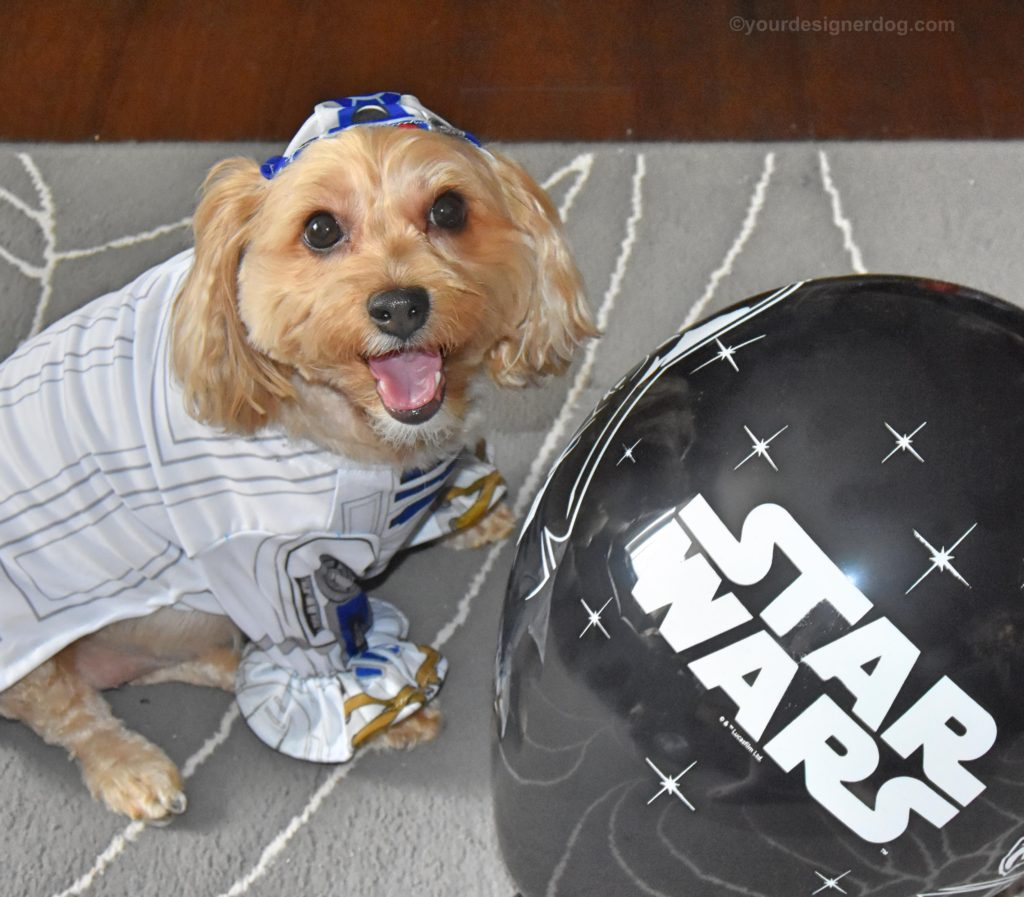 dogs, designer dogs, Yorkipoo, yorkie poo, R2D2, Star Wars, balloons, tongue out
