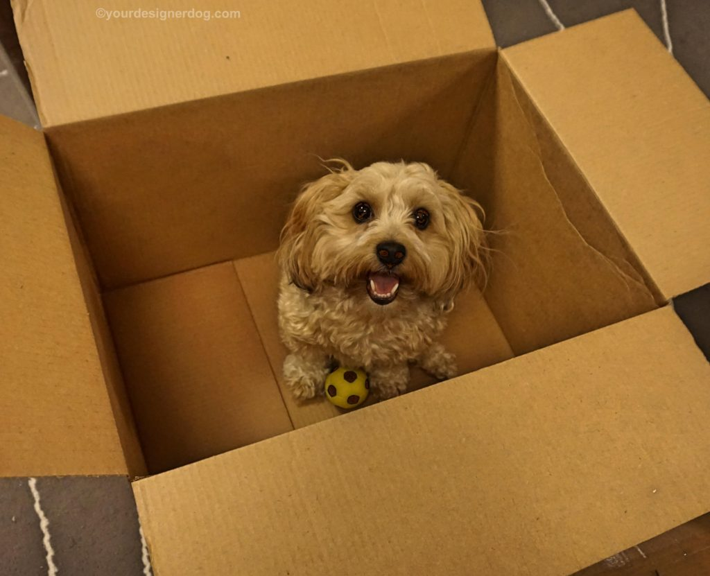 dogs, designer dogs, Yorkipoo, yorkie poo, moving, tongue out, dog smiling, box