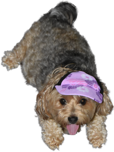 dogs, designer dogs, yorkipoo, yorkie poo, dog hat, cap, sun visor, tongue out
