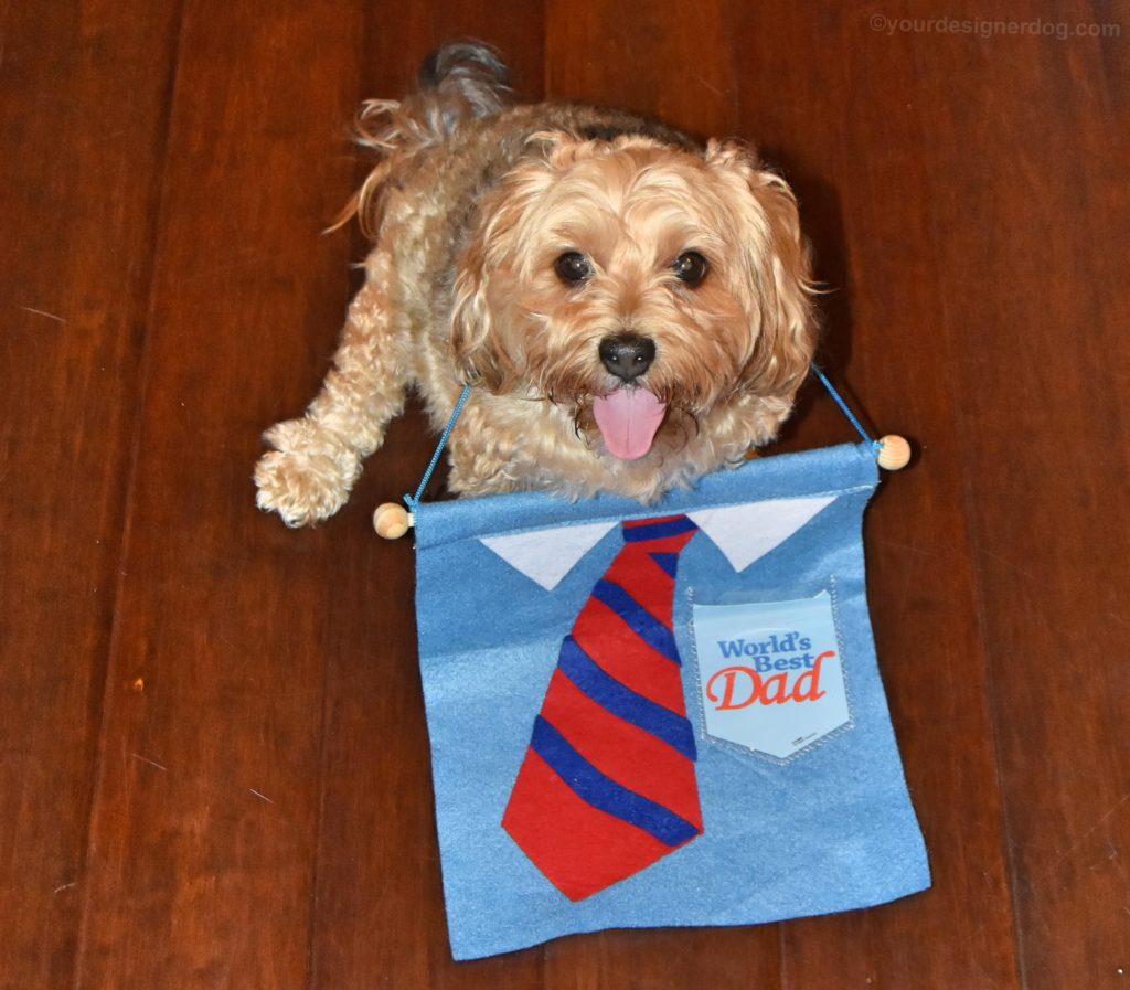 dogs, designer dogs, yorkipoo, yorkie poo, father's day, tie, tongue out