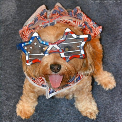 dogs, designer dogs, yorkipoo, yorkie poo, tongue out, flag day, patriotic, american flag