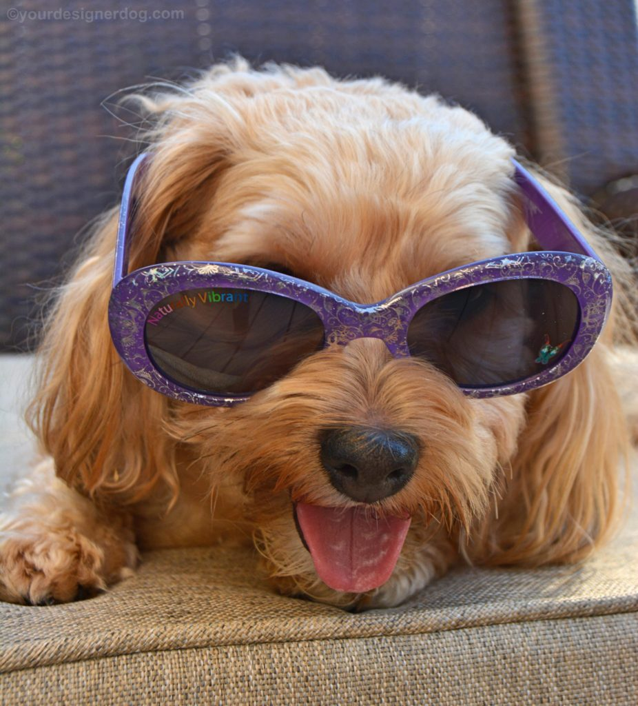 dogs, designer dogs, yorkipoo, yorkie poo, sunglasses, shades