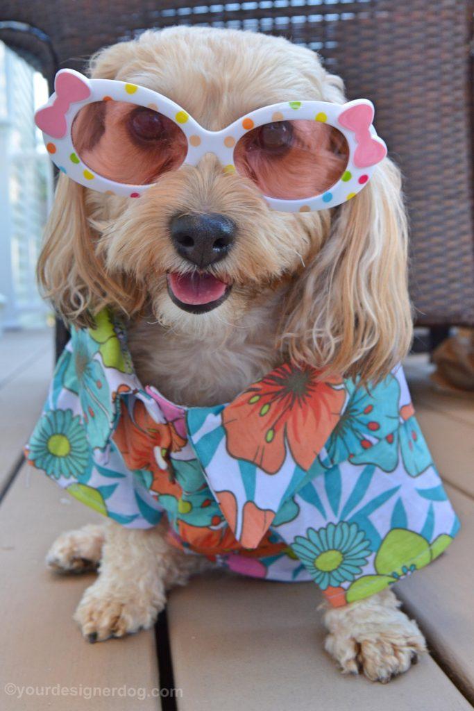 dogs, designer dogs, Yorkipoo, yorkie poo, summer, sunglasses, dog smiling, Hawaiian shirt