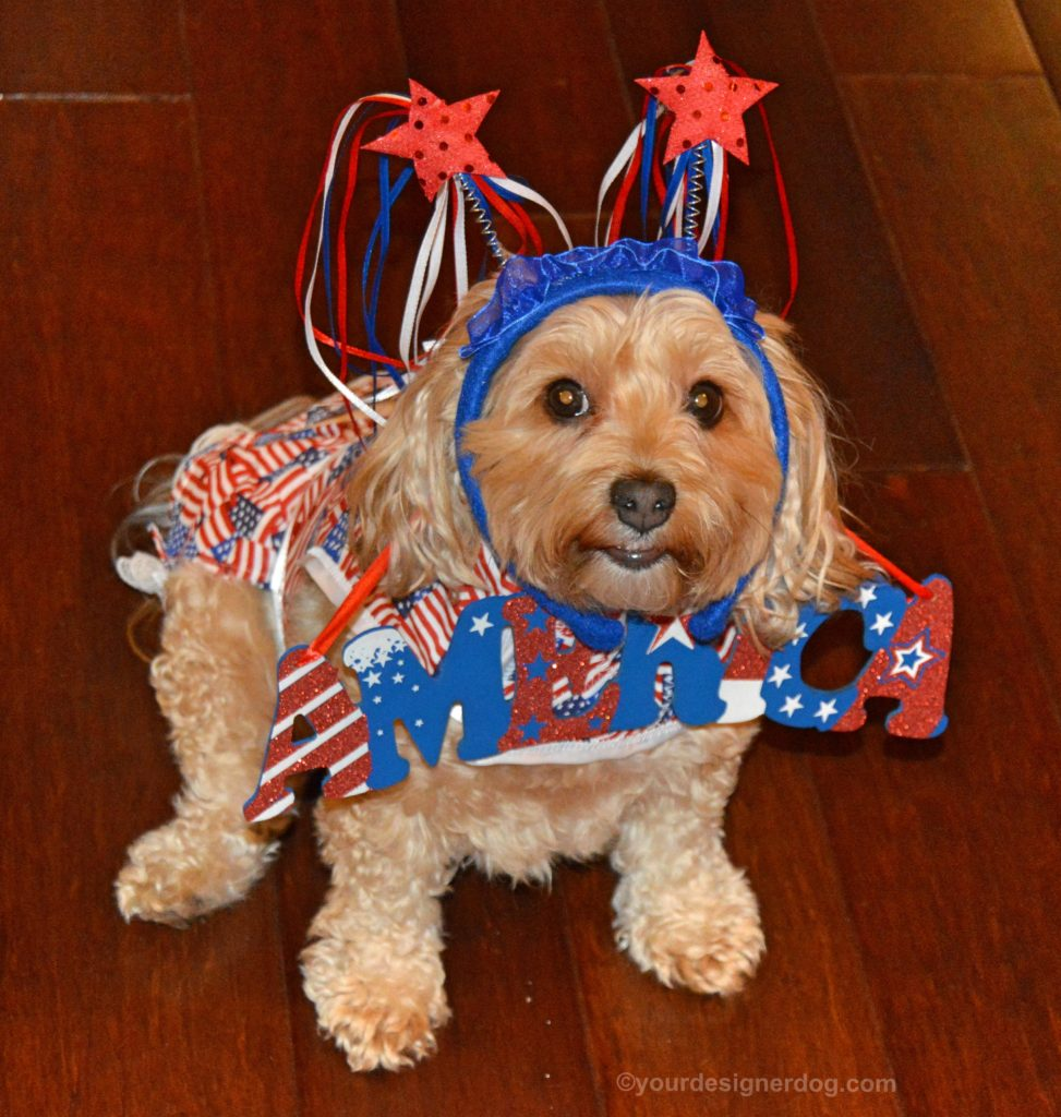 dogs, designer dogs, yorkipoo, yorkie poo, america, fourth of july, independence day