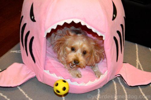 dogs, designer dogs, yorkipoo, yorkie poo, shark bed, #sharkweek