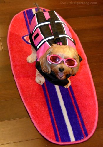 dogs, designer dogs, Yorkipoo, yorkie poo, surfer, surf dog, goggles, life jacket