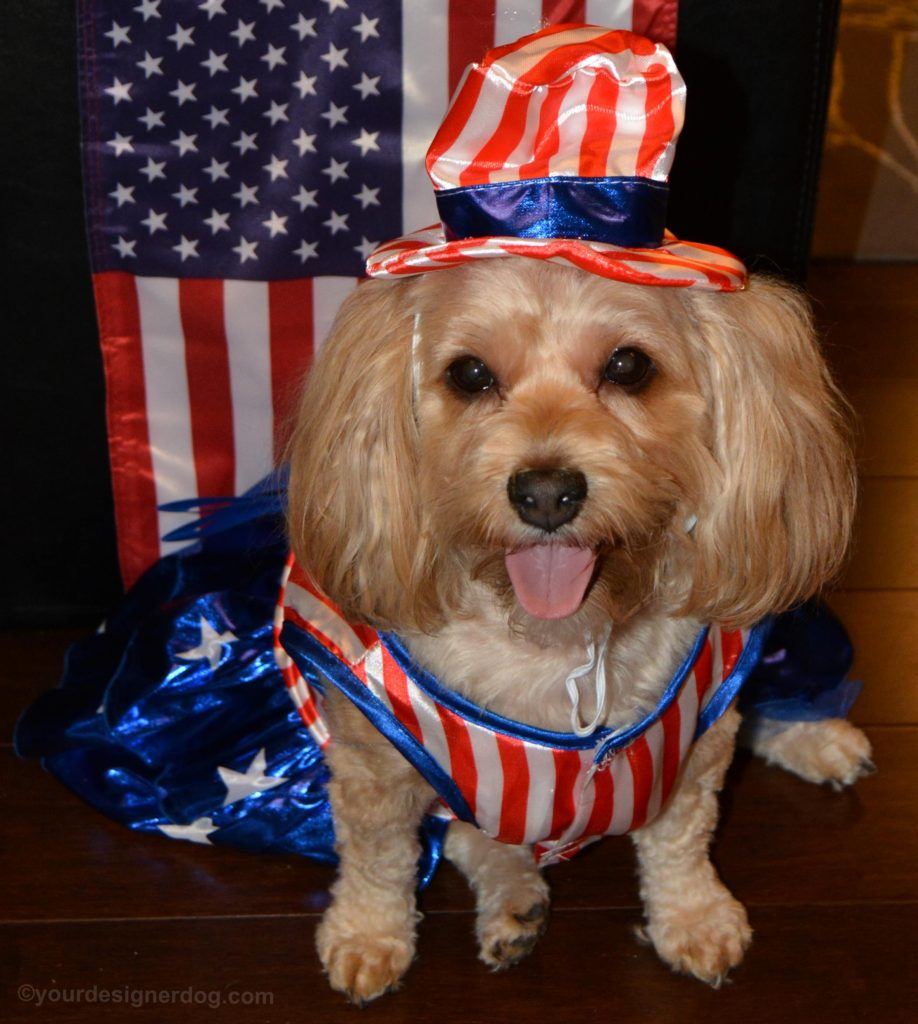 dogs, designer dogs, yorkipoo, yorkie poo, patriotic, tongue out, dog costume