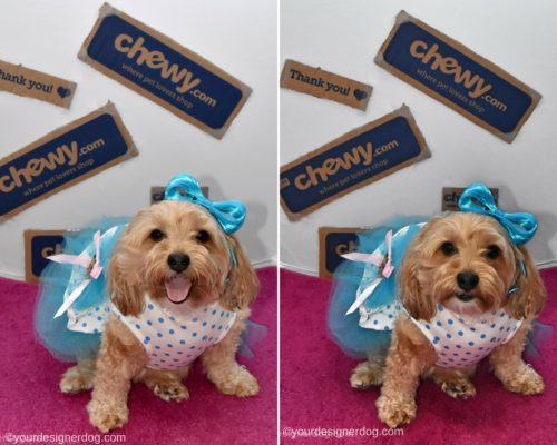 dogs, designer dogs, yorkipoo, yorkie poo, dog dress, chewy, dog fashion