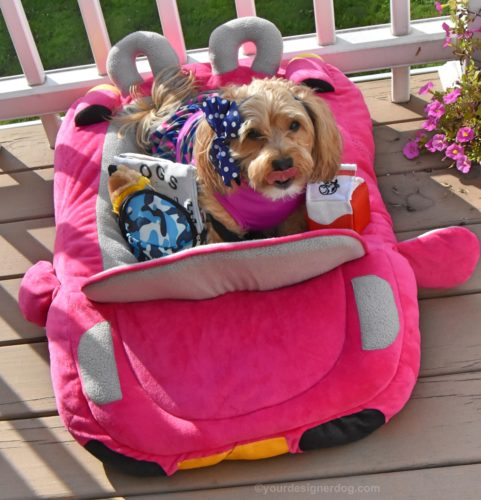 dogs, designer dogs, yorkipoo, yorkie poo, car dog bed, pink convertible, back to school, dog dress, dog backpack