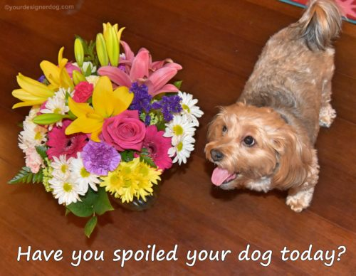 dogs, designer dogs, yorkipoo, yorkie poo, spoil your dog day, flower bouquet