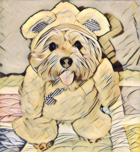 dogs, designer dogs, yorkipoo, yorkie poo, digital art, pet portrait, teddy bear, teddy bear dog costume