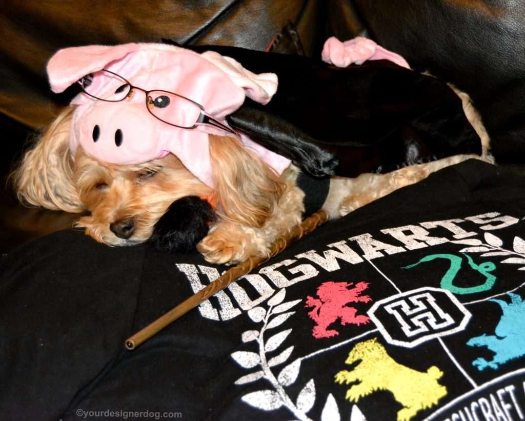 dogs, designer dogs, Yorkipoo, yorkie poo, pig costume, halloween costume, harry plopper, harry potter