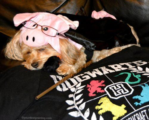 dogs, designer dogs, Yorkipoo, yorkie poo, pig costume, halloween costume, harry plopper, harry potter