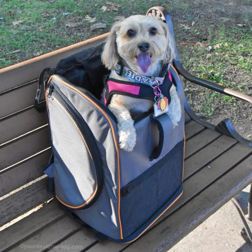 dogs, designer dogs, yorkipoo, yorkie poo, lambo pet carrier, dog backpack
