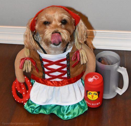 dogs, designer dogs, yorkipoo, yorkie poo, oktoberfest, german costume, dog beer
