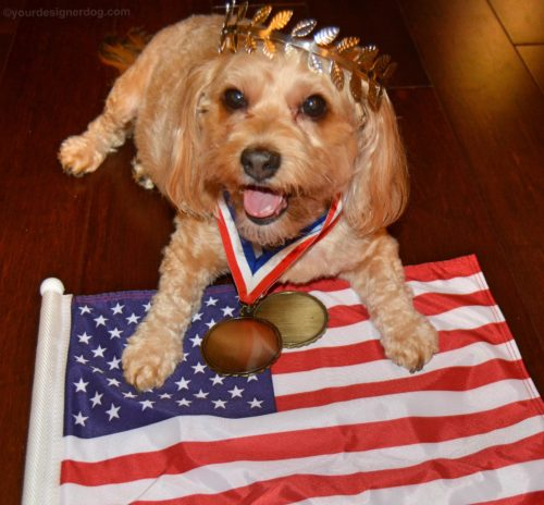 dogs, designer dogs, yorkipoo, yorkie poo, patriotic, athlete, olympics, medalist, crown