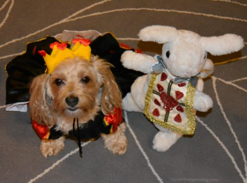 dogs, designer dogs, yorkipoo, yorkie poo, dog halloween costume, queen of hearts, alice in wonderland