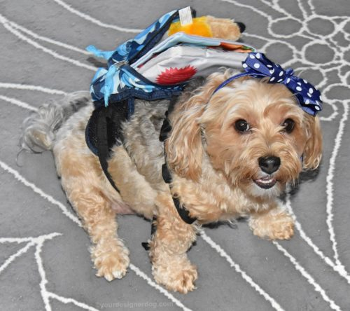 dogs, designer dogs, yorkipoo, yorkie poo, back to school, backpack, dog backpack, dog smiling