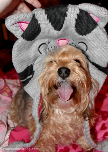 dogs, designer dogs, yorkipoo, yorkie poo, soft kitty, tongue out, cat hat
