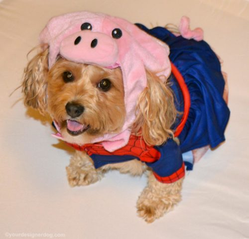 dogs, designer dogs, yorkipoo, yorkie poo, spider man, spider pig, simpsons, dog costume, halloween costume