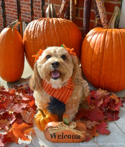 dogs, designer dogs, yorkipoo, yorkie poo, fall, autumn, pumpkins, foliage, leaves