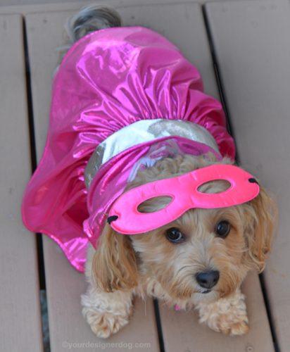 dogs, designer dogs, yorkipoo, yorkie poo, superhero, dog costume