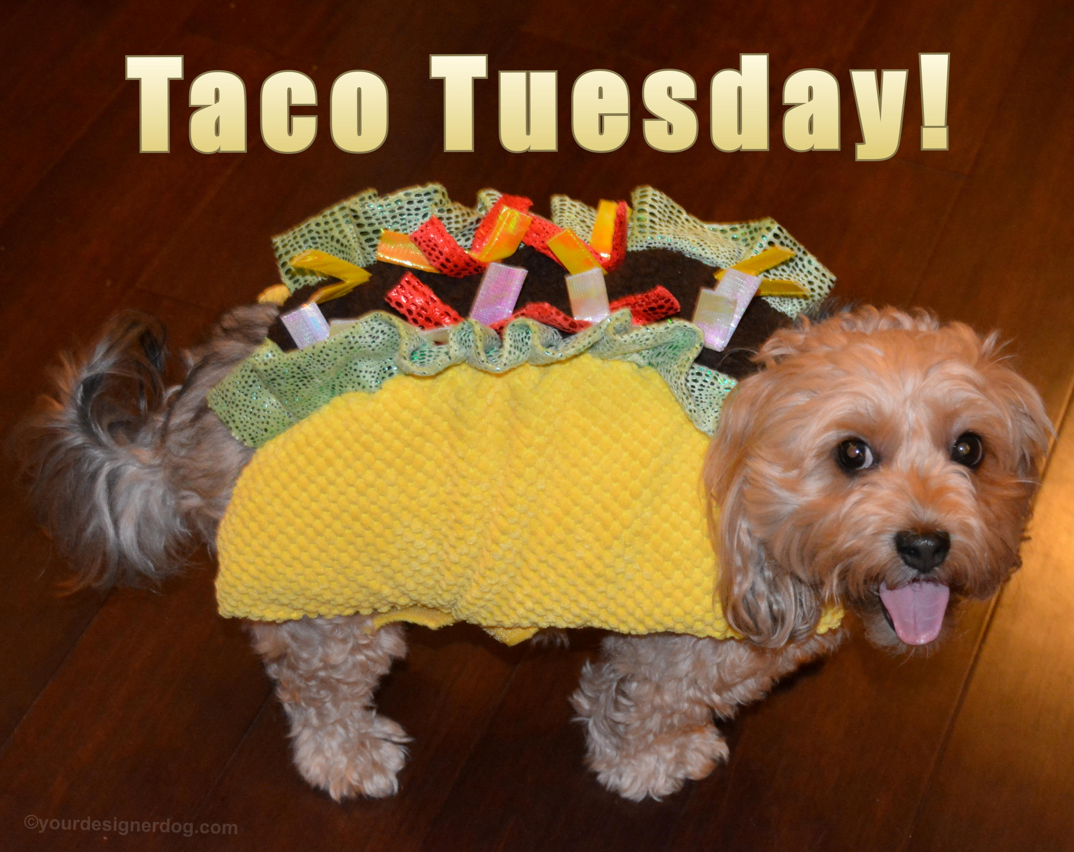 dogs, designer dogs, Yorkipoo, yorkie poo, taco halloween costume, dog costume, tongue out, taco tuesday