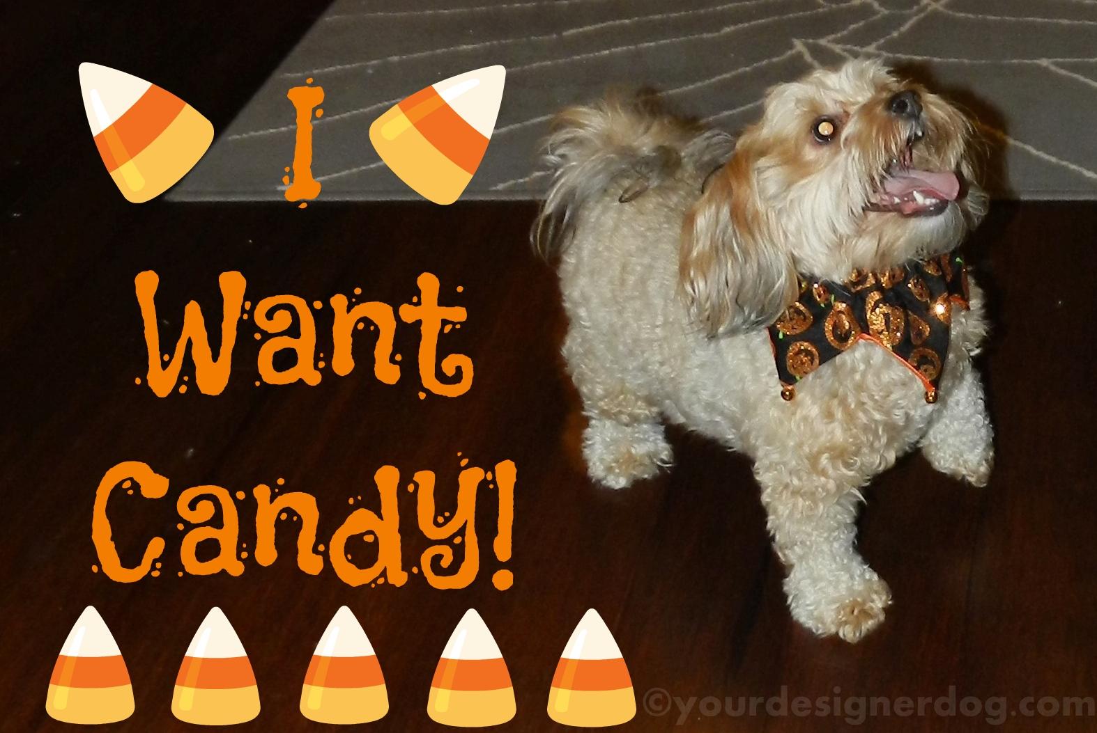 dogs, designer dogs, yorkipoo, yorkie poo, candy, halloween