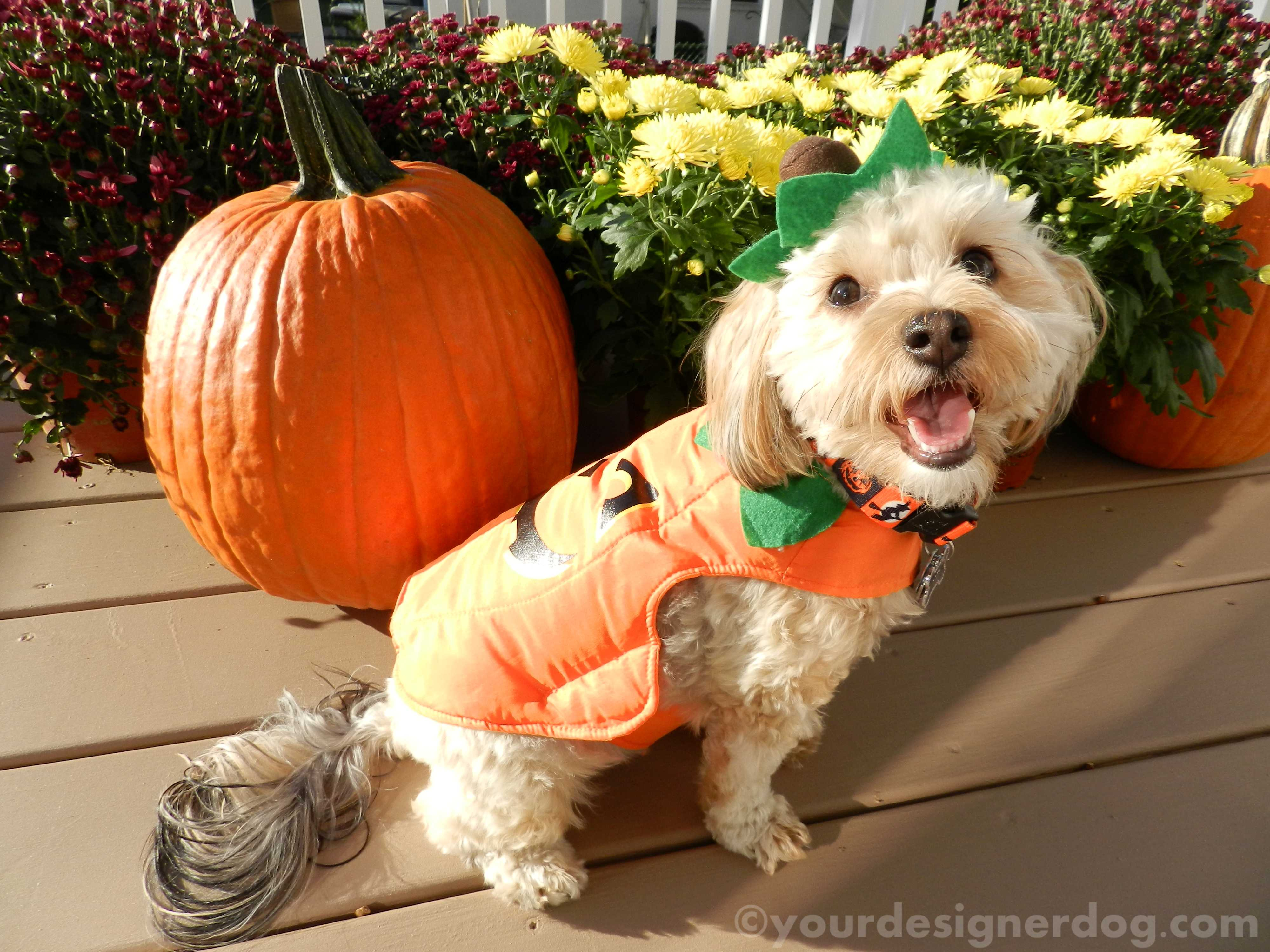 dogs, designer dogs, yorkipoo, yorkie poo, pumpkins, fall, halloween, mums, dogs with flowers, dogs smiling, tongue out