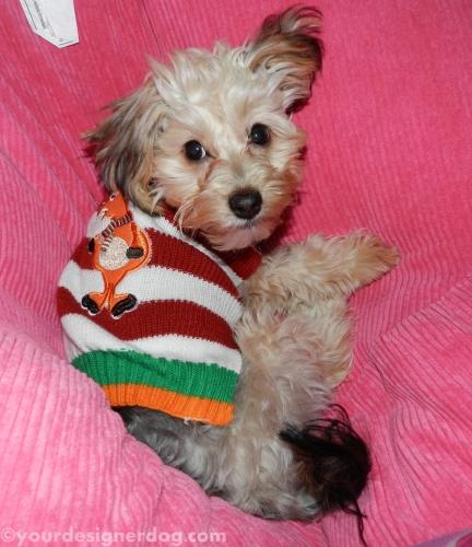 dogs, designer dogs, yorkipoo, yorkie poo, christmas sweater, sleepy puppy