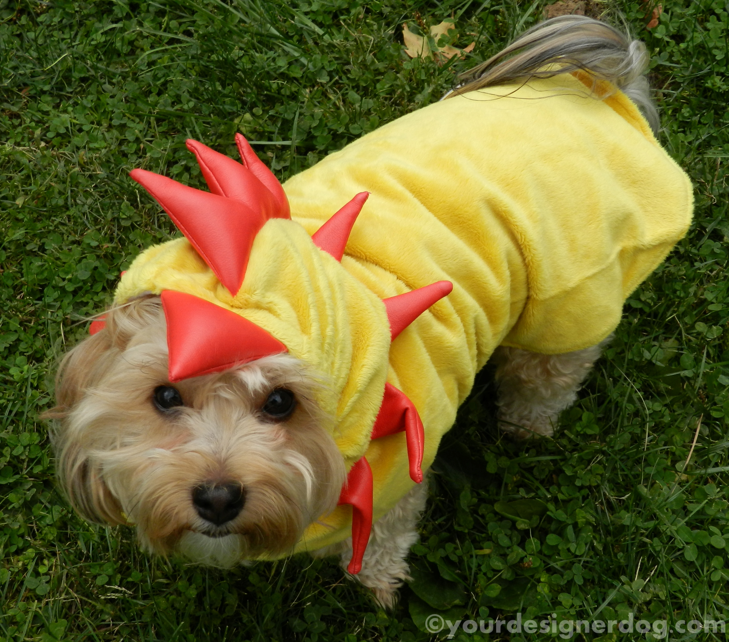 dogs, designer dogs, yorkipoo, yorkie poo, dog costume, chicken costume