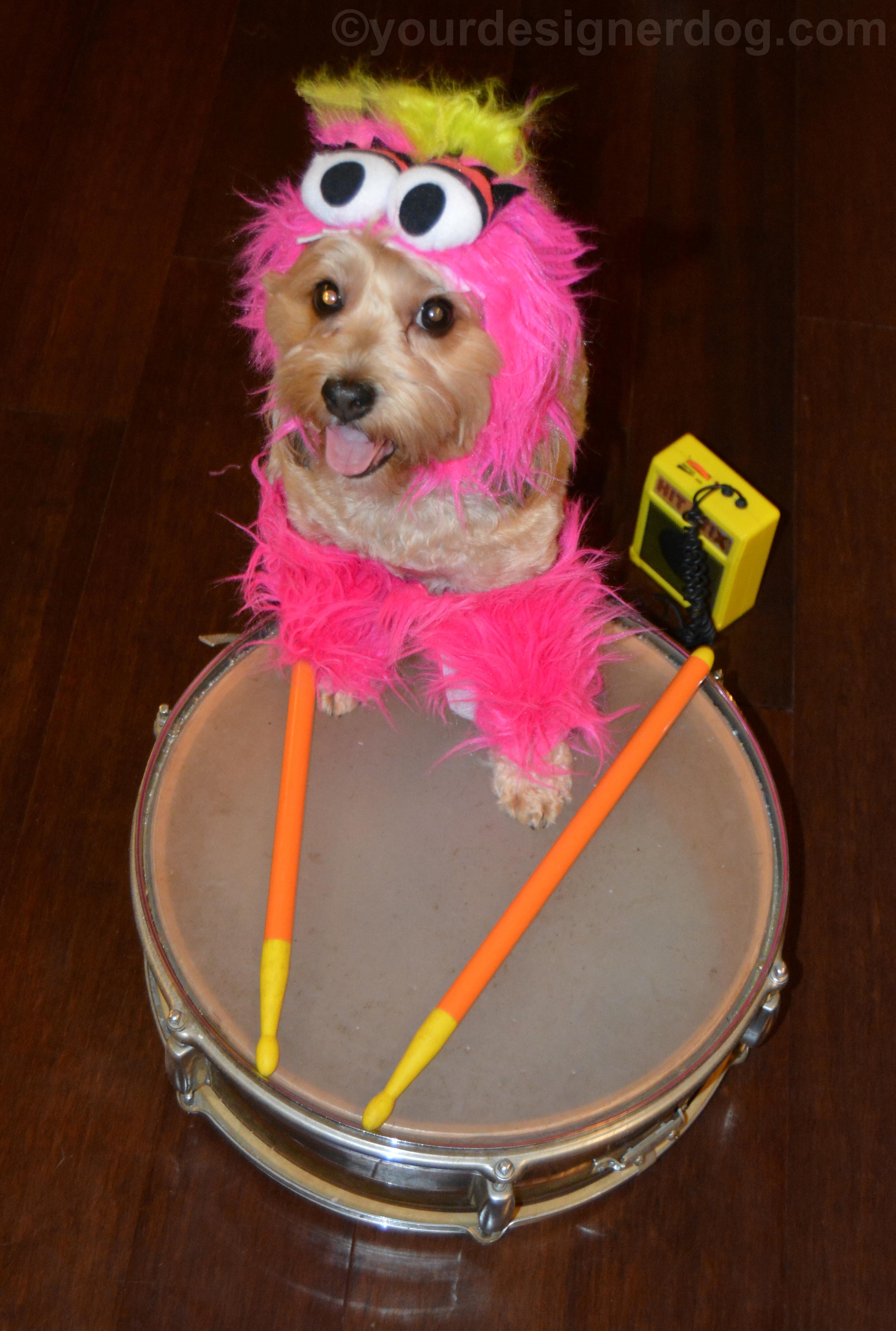 dogs, designer dogs, yorkipoo, yorkie poo, animal, drum, Muppet, Halloween, monster costume