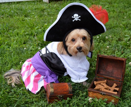 dogs, designer dogs, yorkipoo, yorkie poo, pirate, treasure chest, booty