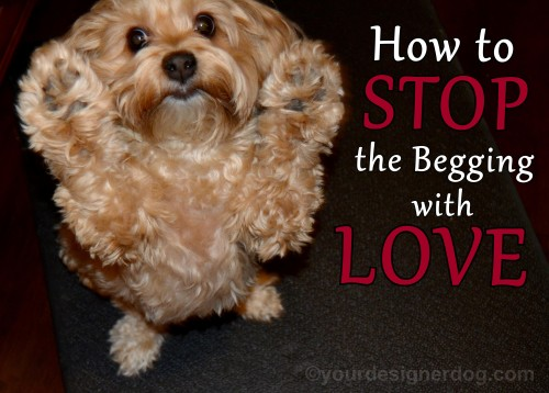 dogs, designer dogs, yorkipoo, yorkie poo, begging, how to