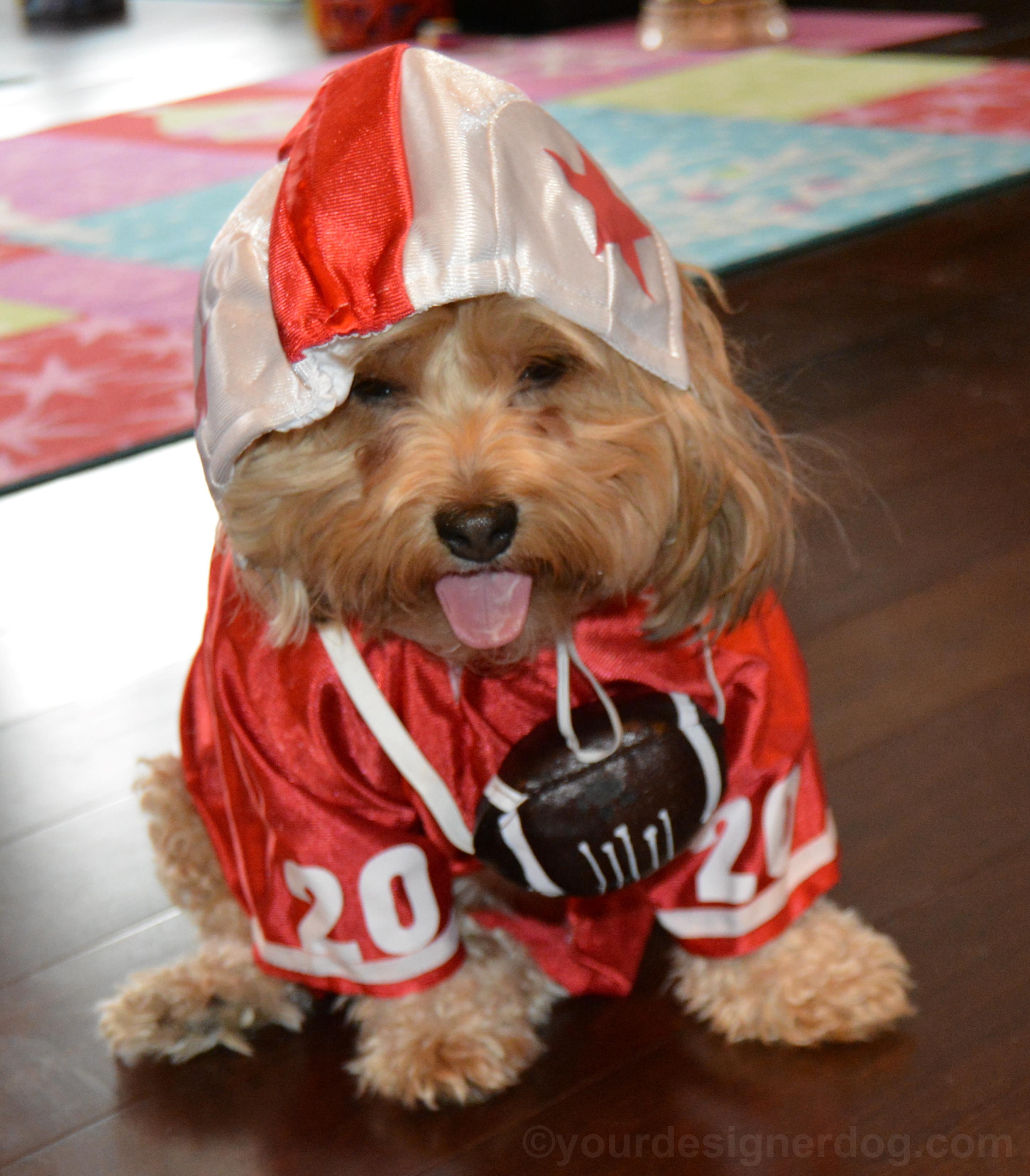 dogs, designer dogs, yorkipoo, yorkie poo, bloopers, football, uniform, costume