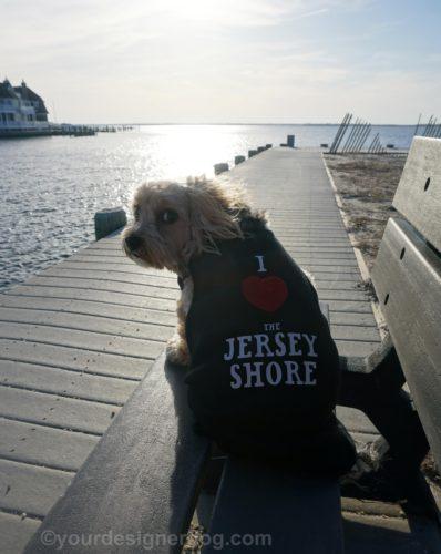 dogs, designer dogs, Yorkipoo, yorkie poo, jersey shore, dog tshirt, bay, boardwalk, beach
