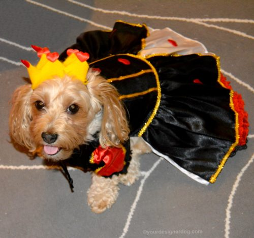 dogs, designer dogs, yorkipoo, yorkie poo, dog halloween costume, queen of hearts, alice in wonderland