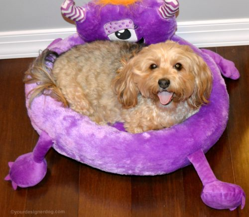 dogs, designer dogs, yorkipoo, yorkie poo, tongue out, monster dog bed
